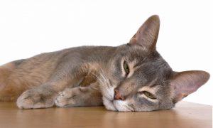 chat intelligent et beau : l'abyssinien
