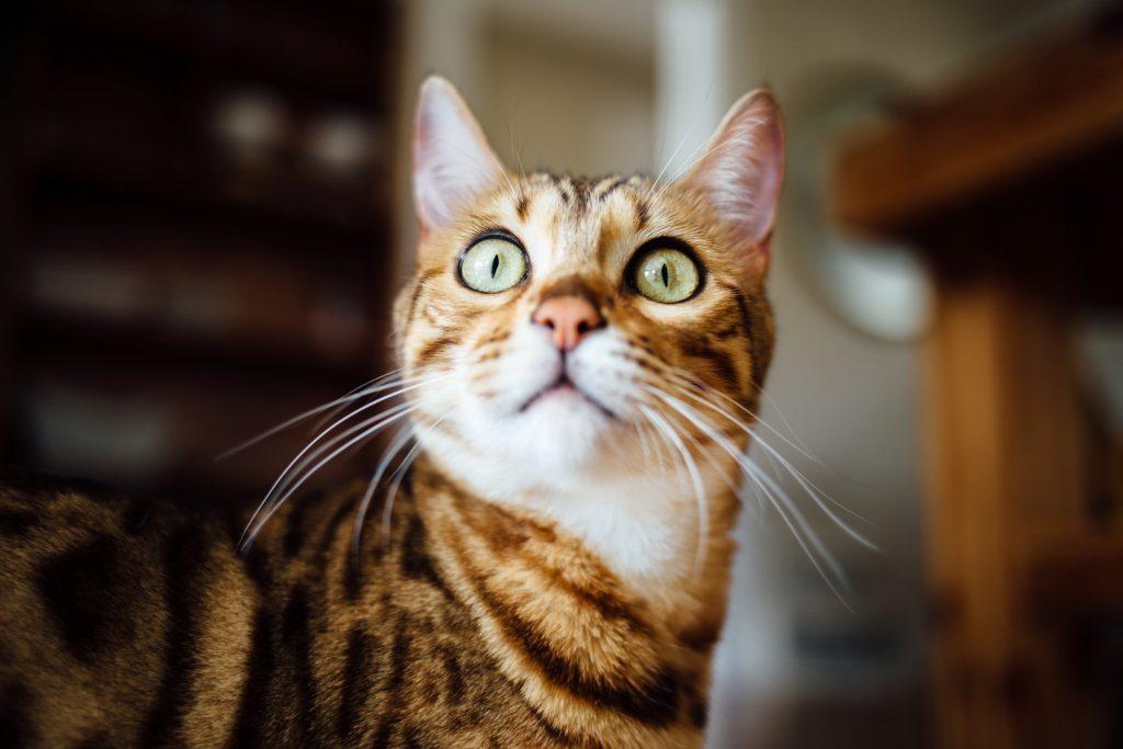 chat du Bengale en chasse