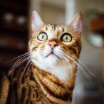 Le célèbre chat du Bengale