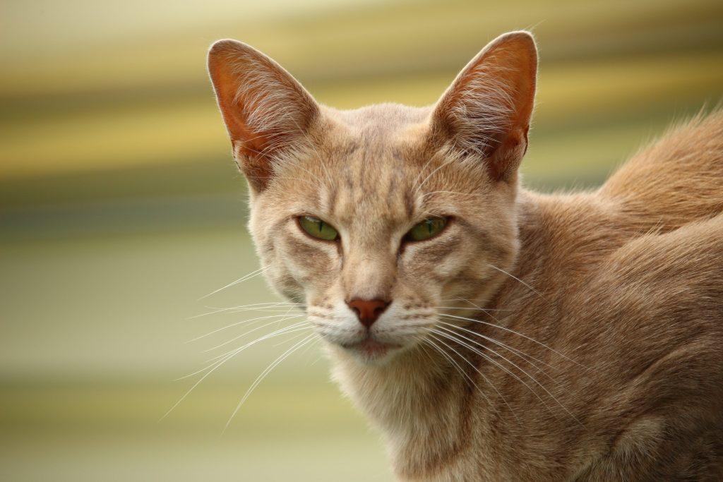 la classe du chat javanais