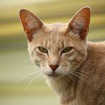En savoir plus sur la race de chat Javanais