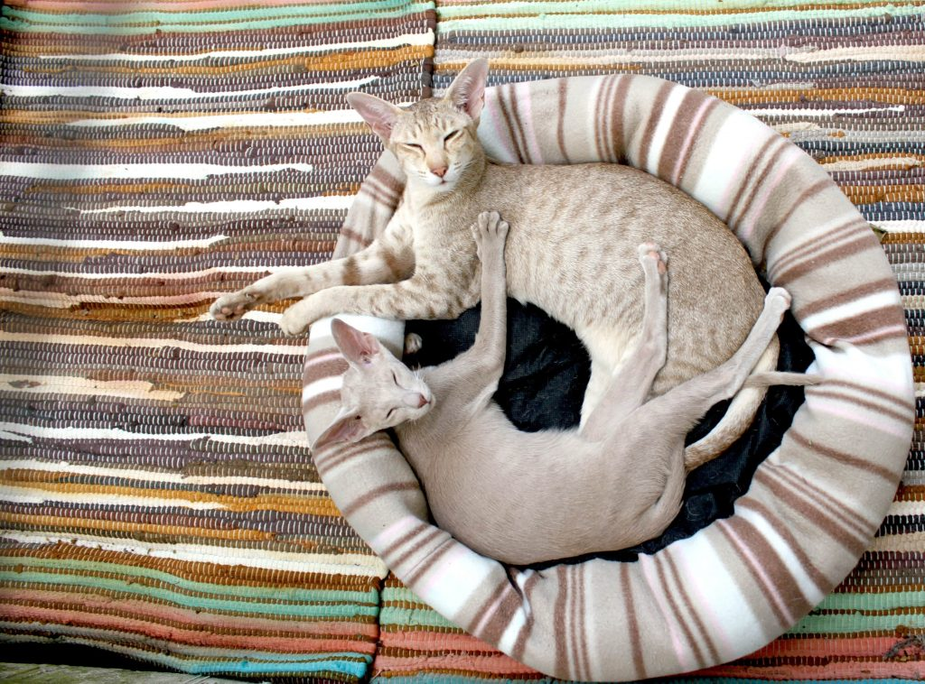 chat de race oriental