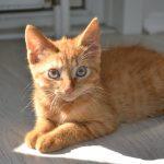 La déclinaison abyssienne : le chat de race Somali