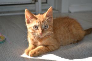 exemple de chat somali
