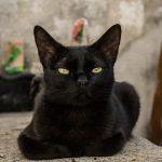 Découvrir le chat Havana Brown, c'est l'adopter !