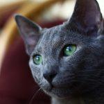 La mystérieuse race de chat Bleu Russe