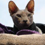 Le Sphynx : Une race de chat exceptionnelle