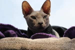 chat de race sphynx