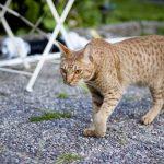 Le fauve : la race de chat Ocicats