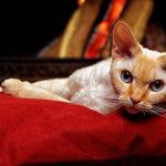 Le chat de race Devon Rex