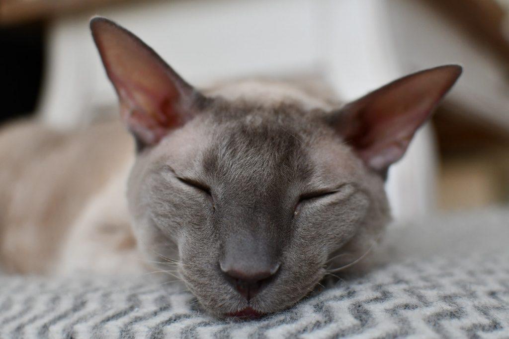 le chat rex de cornouailles