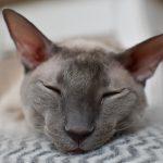 Le chat de race Rex de Cornouailles