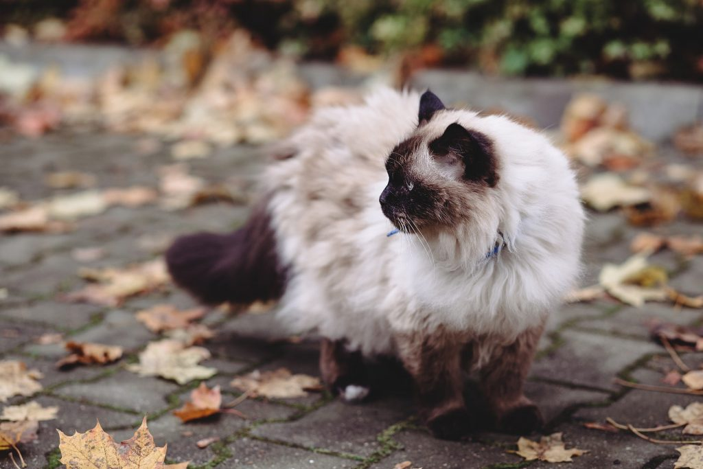 le chat de race sacrée de Birmanie
