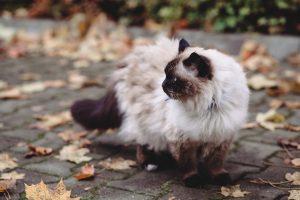 le chat de race sacrée de Birmanie