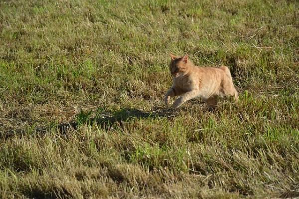 Soyez vigilant surtout lorsque le chat court dans l'herbe seche